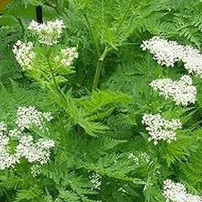 300 Anise Herb Seeds : Garden & Outdoor