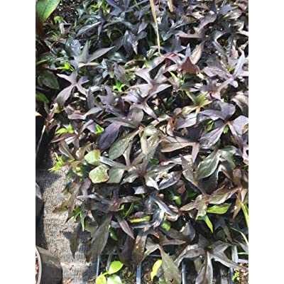 Purple Sweet Potato Vine, in 4 Inch Pot : Garden & Outdoor