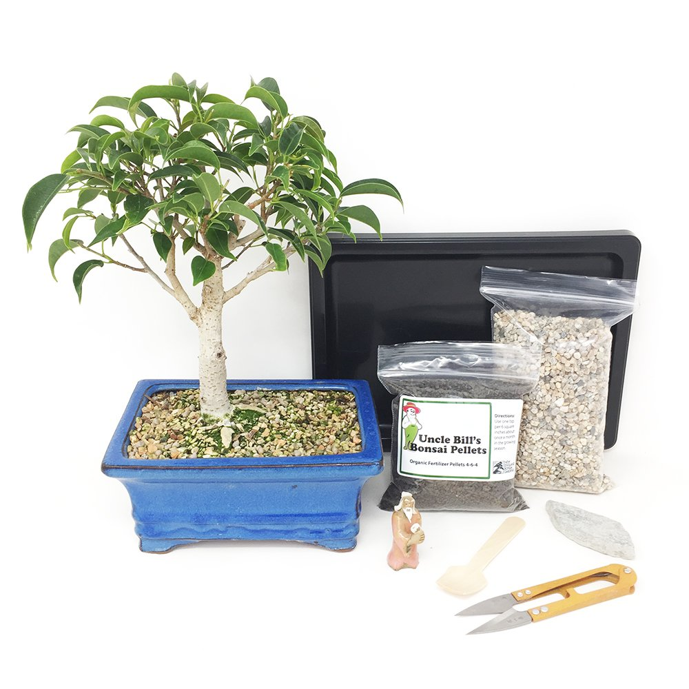 Oriental Ficus Bonsai Tree Beginner Kit Includes Potted Tree, Japanese Humidity Tray, River Rocks, Organic Bonsai Food, Mini Clippers, Rock, Fertilizer Spoon, Mudman Figurine by Bonsai Outlet