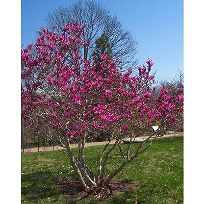 "Ann Magnolia Tree Healthy Established Rooted in 2.5"" Pots 3 Plants #GWS03 : Garden & Outdoor"