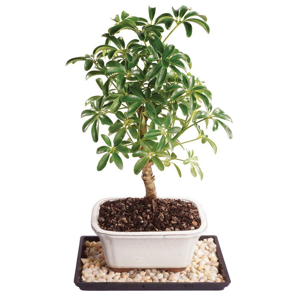 Brussel's Live Dwarf Hawaiian Umbrella Indoor Bonsai Tree - 4 Years Old; 8'' to 12'' Tall with Decorative Container, Humidity Tray & Deco Rock