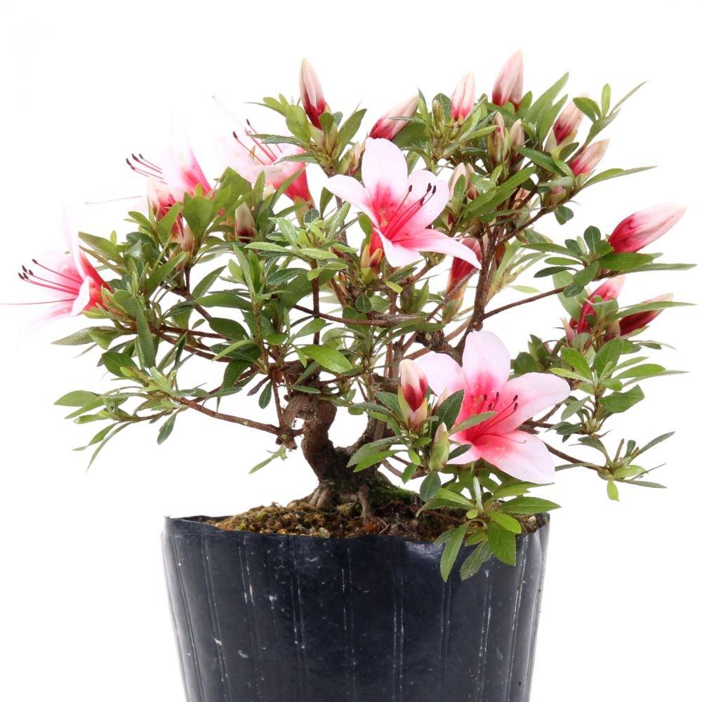 Bonsai - Jap. Satsuki Azalee 'Hi-no-Maru', Rhododendron indicum 183/57