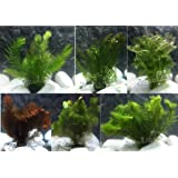 10 Plantas acuáticas Oxigenantes para acuario agua dulce. Cabomba, Elodea, Ambulia, Cola