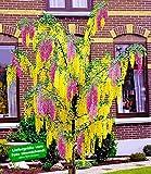 baldur garten buddleia sommerflieder 39 flower power 39 1. Black Bedroom Furniture Sets. Home Design Ideas