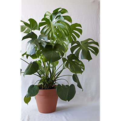 Live Split-Leaf Philodendron Plant Fit 1 Quart Pot - Houseplant - Easy to Grow : Garden & Outdoor