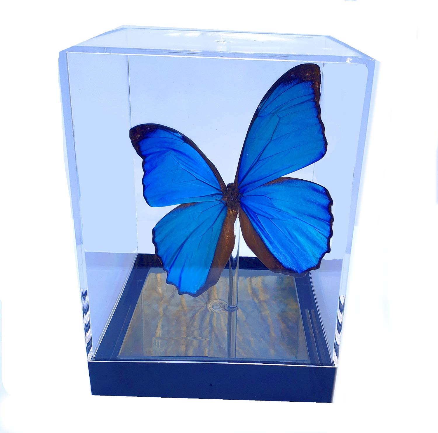 Blue Morpho Menelaus 3d Framed Real Butterfly Table Top Cube Posters Prints Amazon Com