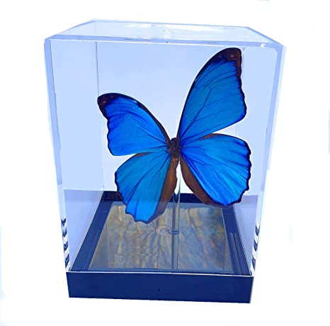 Real 3D Framed Butterfly Table Top Majestic Green Swallowtail