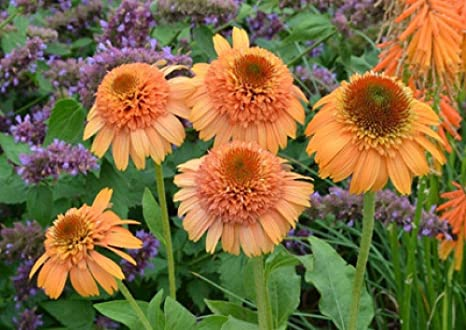 Echinacea Supreme Cantaloupe Flower Seeds 50 Seeds Pack Orange Red Coneflower Kk049 Amazon Co Uk Kitchen Home If flower heads are not removed in the fall, the blackened cones will be visited by birds. echinacea supreme cantaloupe flower seeds 50 seeds pack orange red coneflower kk049
