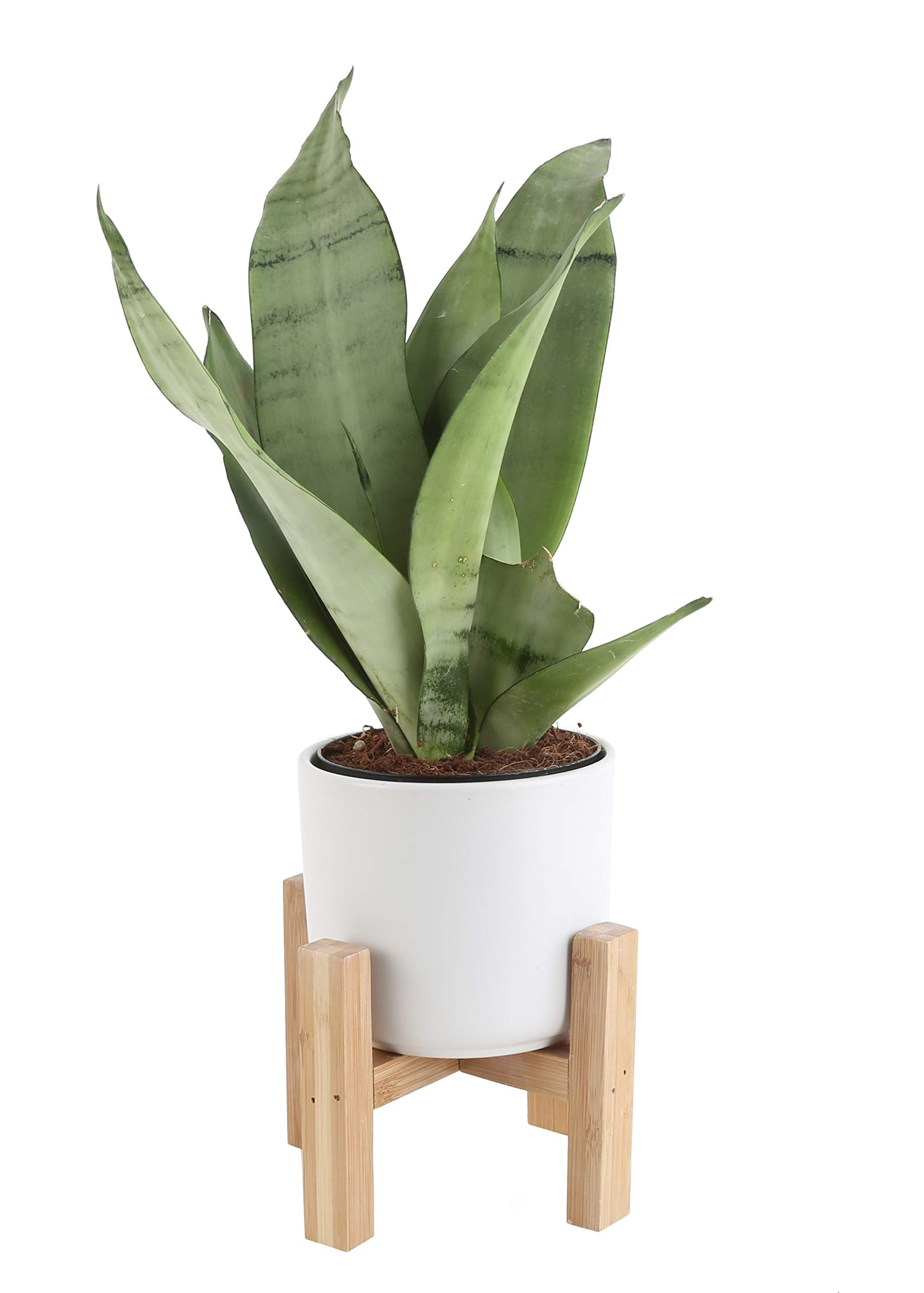 Costa Farms Snake Plant, Sansevieria, with 4.25-Inch Wide Mid-Century Modern Planter and Plant Stand Set, White, Fits on Shelves/Tabletops