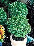 HEIRLOOM NON GMO Boxwood Basil 100 seed