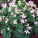 Oxalis Fanny Flower Bulbs - 15 Large Bulbs- 4/5cm - Blooms Nearly Year Round