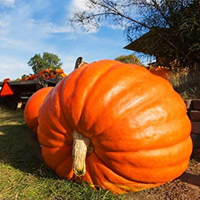 Werall Garden Seeds - 20pcs Halloween Giant Pumpkin Seeds, Garden Plants Seeds, Easy to Grow Organic Vegetable Seeds for Patio Kitchen Garden Balcony Nursery : Garden & Outdoor