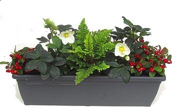 Edles Wintergrunes Balkonpflanzen Set Mit Christrosen 5 Winterharte