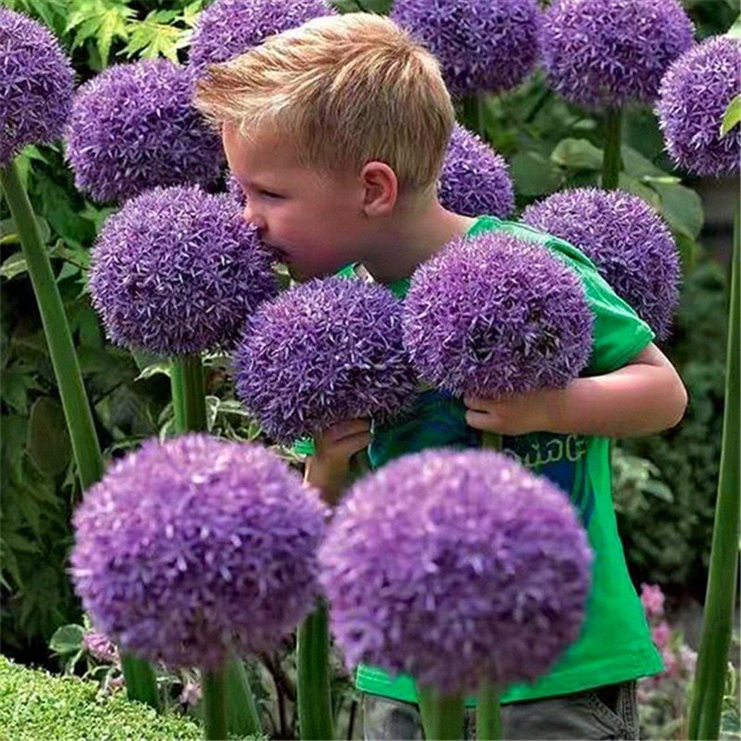 Ncient 10//20//50//100 pcs//Sac Graines Semences d/'Allium Giganteum Graines Fleurs Graines /à Planter Plante Rare de Jardin Balcon Bonsa/ï en Plein Air pour lInt/érieur et lExt/érieur 10 pcs