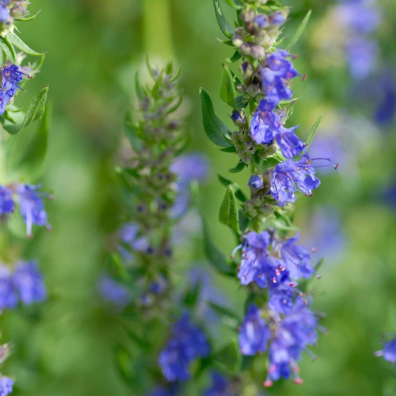 Hyssop Herb Garden Seeds - 1 Oz - Non-GMO, Heirloom Herbal Gardening & Decorative Plant Seeds - Hyssopus officinalis