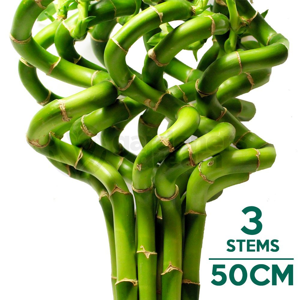 50cm Lucky Bamboo - 3 Spiral Stems - Indoor Plant Pot Garden Windowsill Bowl GardenersDream