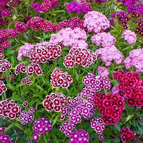 Sweet William Flower Garden Seeds - Double Mixture - 1 Oz- Annual & Perennial Mix - Flower Gardening (Sweet William Perennial)