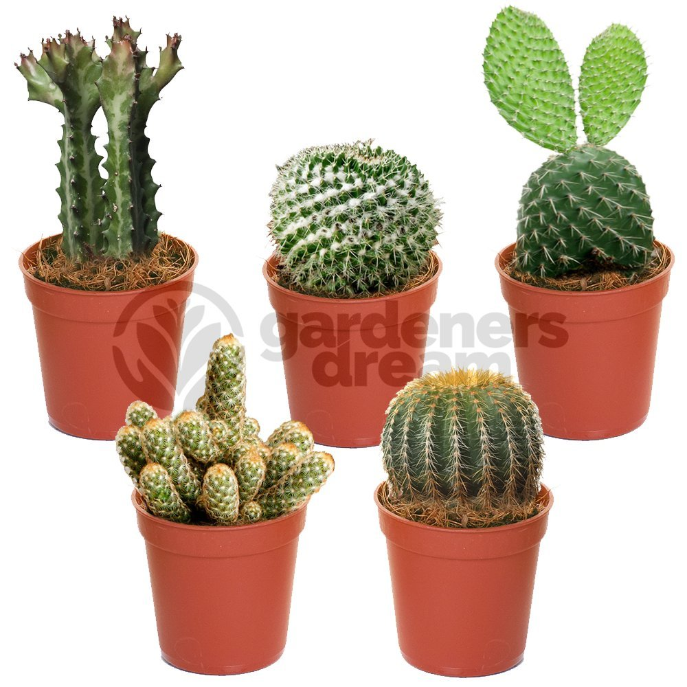 Cactus Mix - 5 Plants - House / Office Live Indoor Pot Plant - Ideal Gift GardenersDream