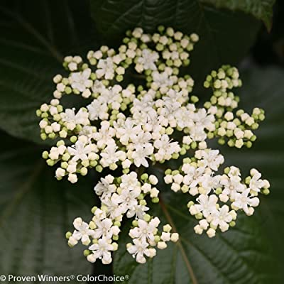 "Shiny Dancer Viburnum - 4"" pot - Proven Winners : Garden & Outdoor"