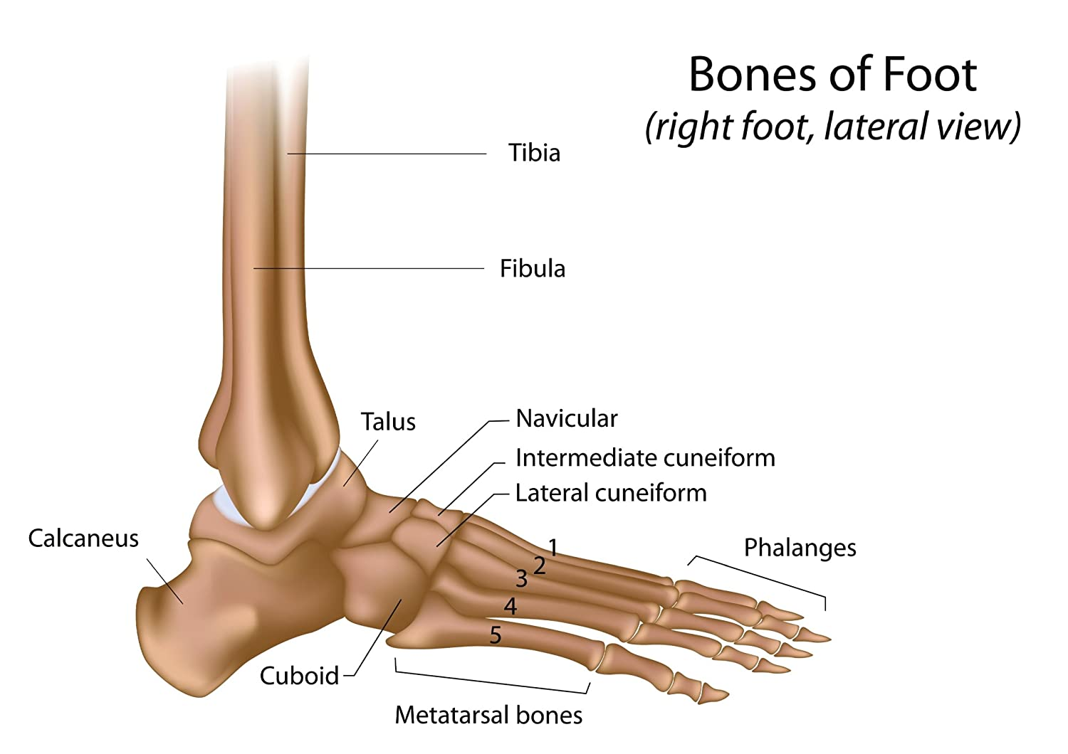 SonicPrint Bones Of Foot Educational Poster. Many, Including Frames.