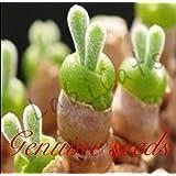 多肉植物 種子 モニラリア・オブコニカ グリーンバニー ストーンフラワー
