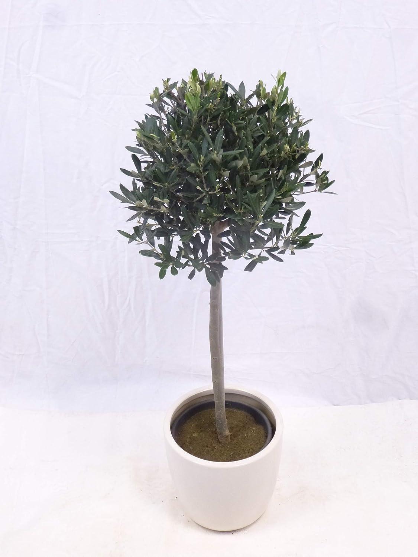 OlivenbaumOlea europea Kugel-Hochstamm 100 cm Palmenlager