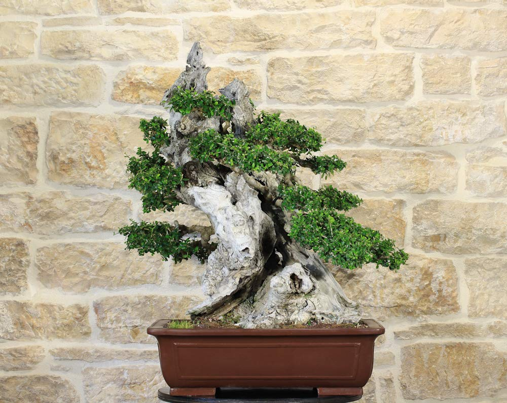 Wild Olive Bonsai Tree 162 Buy Online In El Salvador At Desertcart Productid 143719956