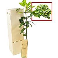 LAUREL arbusto aromático de pequeño tamaño