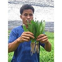 2.350 semillas de cilantro ancho Recao culantro Eryngium foetidum nuevas semillas +
