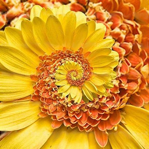 30pcs / pack Semillas Semillas de flores de crisantemo mini piretroides Hermosa Perenne Flores semillas de flores para el jardín de DIY: Amazon.es: Jardín