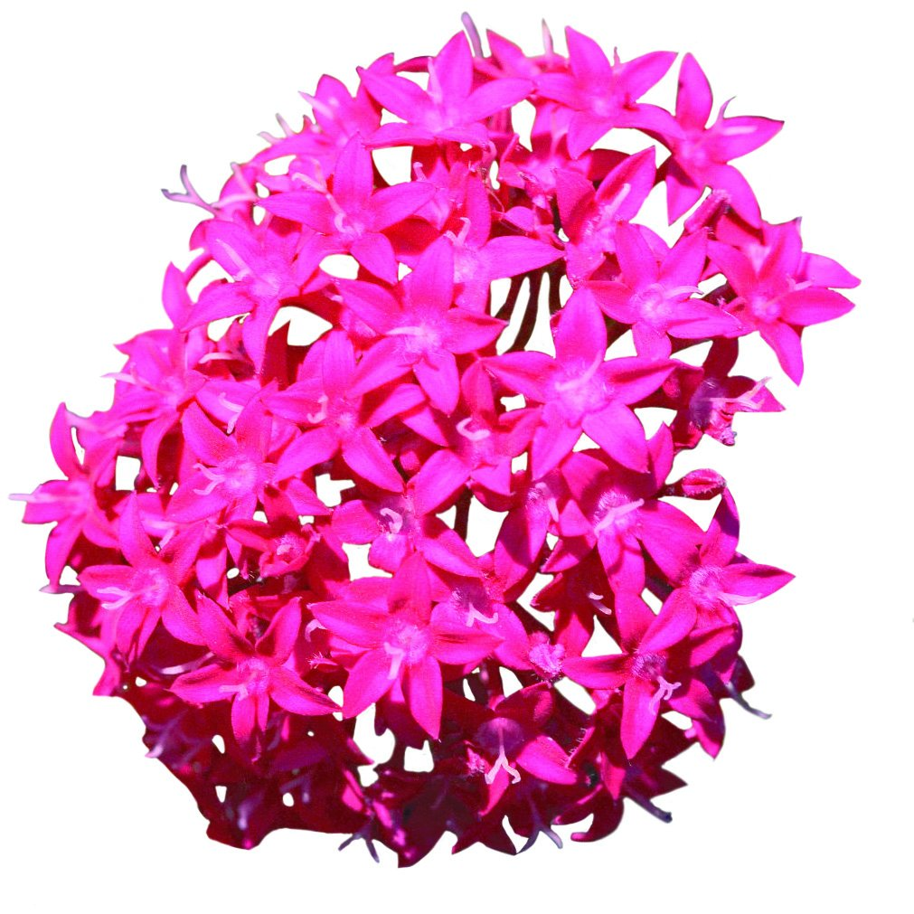 Costa Farms Live Flowering Pentas,Outdoor Plant in 1.00 qt Grower Pot, Purple, 4 pack