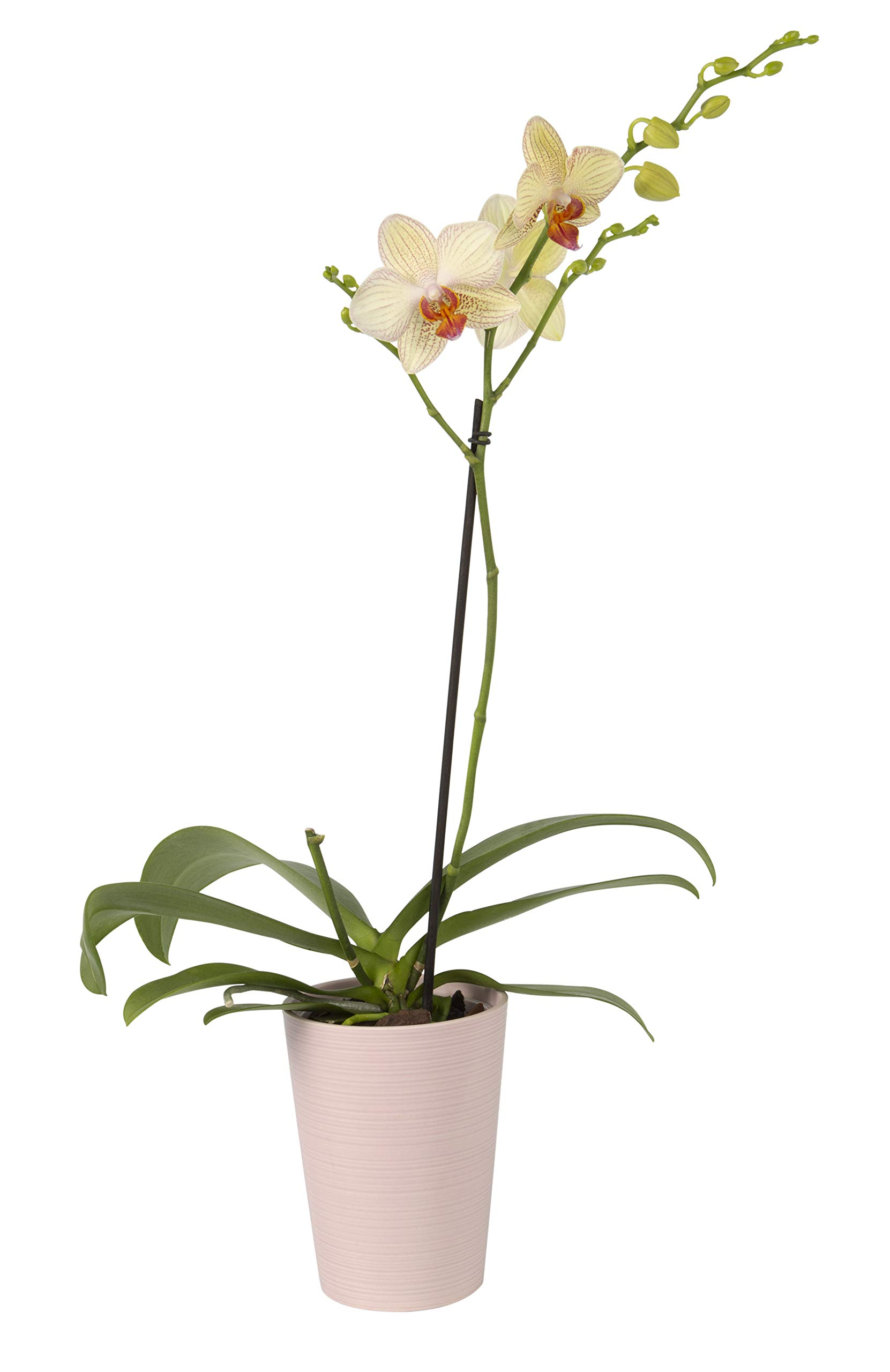 Color Orchids Live Blooming Single Stem Phalaenopsis Orchid Plant in Ceramic Pot, 20''-24'' Tall, Yellow Blooms