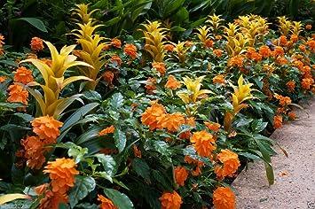 Firecracker Flower marmelade dorange Tr/ès rare Plante tropicale Graines crossandra