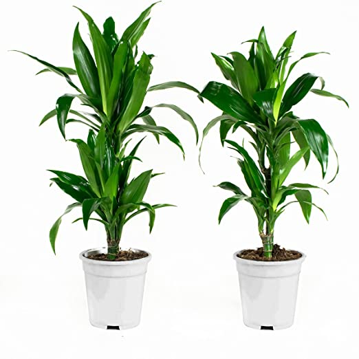 Areca dypsis lutescens Altura: 65 cm Plantas de interior de Botanicly 2 /× Areca dypsis lutescens
