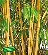 baldur garten roter bambus 39 chinese wonder 39 1 pflanze. Black Bedroom Furniture Sets. Home Design Ideas