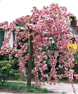 Dwarf Patio Royal Burgundy Flowering Japanese Cherry Tree 3 4ft