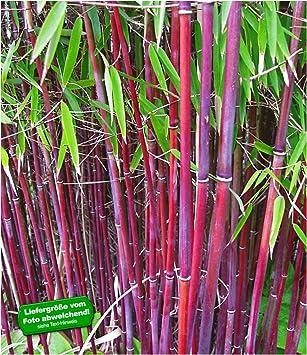 Baldur Garten Roter Bambus Chinese Wonder Winterhart 1 Pflanze
