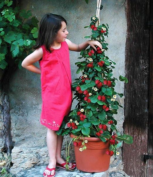 Gemeinsame BALDUR-Garten Kletter-Erdbeere 'Hummi', 3 Pflanzen Fragaria @VZ_55