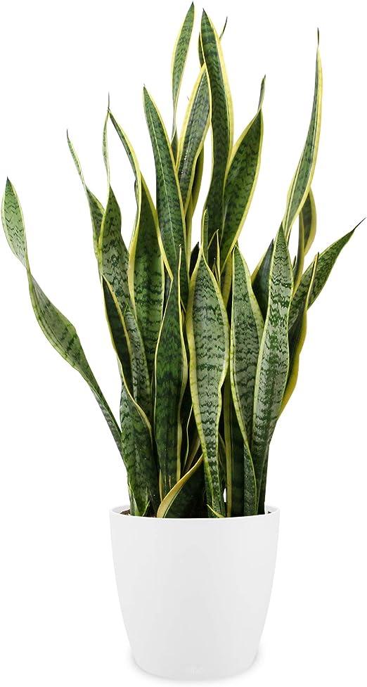 Piante Da Appartamento Sansevieria.Pianta D Appartamento Da Botanicly Sansevieria In Vaso Bianco