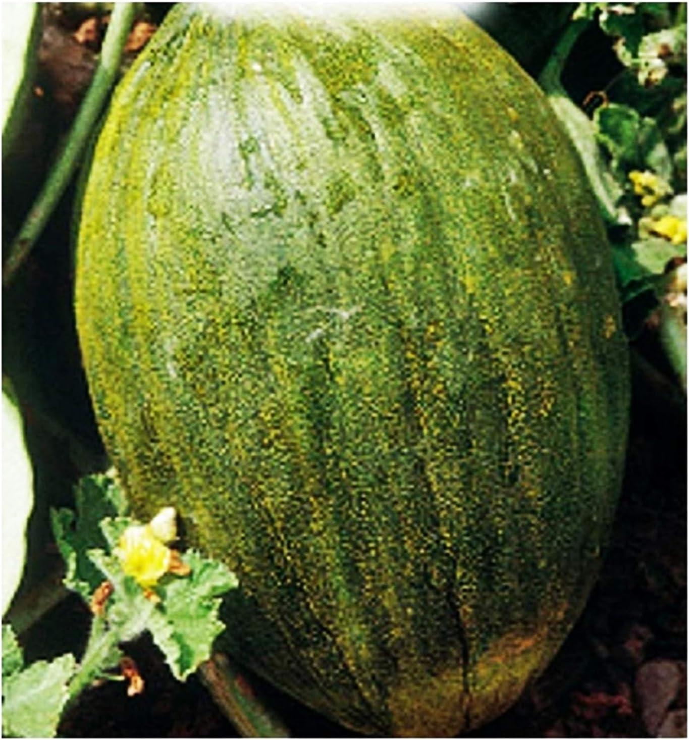Semillas de melón valenciano temperano - verduras - cucumis melo - 90 semillas aproximadamente - las mejores semillas de plantas - flores - frutas raras - melones valencianos - idea de regalo original