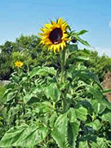 Sunflower, Mammoth Grey Stripe 25+ Seeds Newly Harvested, 8-12 Foot Tall