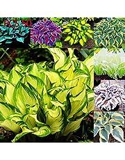 AIMADO sementi giardino - Rara Sempreverdi Heuchera in miscuglio semi sementi da fiore giardino resistenza al freddo Pianta perenne