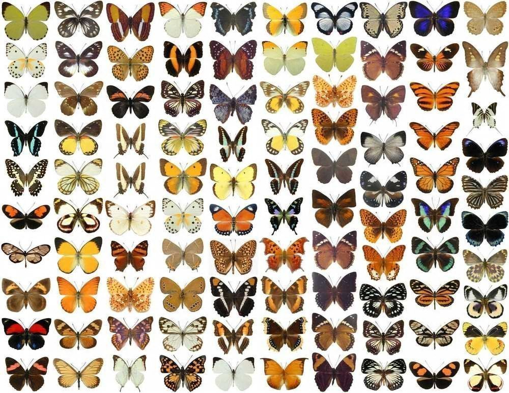 100 x Unmounted Real Dried Butterflies | by NaturalHistoryDirect | A1 Papered Butterfly Specimens S.E.Asia Region - Captive Farmed