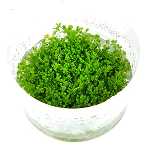 Tropica Hemianthus callitrichoides Cuba 1 - 2-grow Tissue Culture in vitro planta