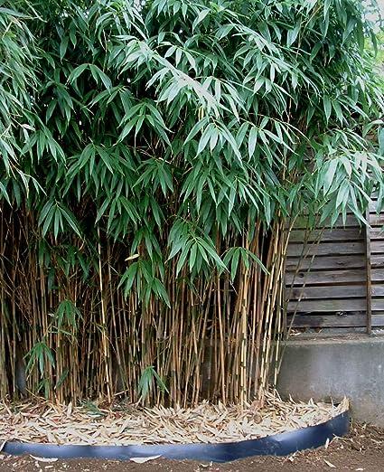 Buy VANATHI HERBS & LIVE PLANTS Bamboo Chinese Bundle of 5 Plants