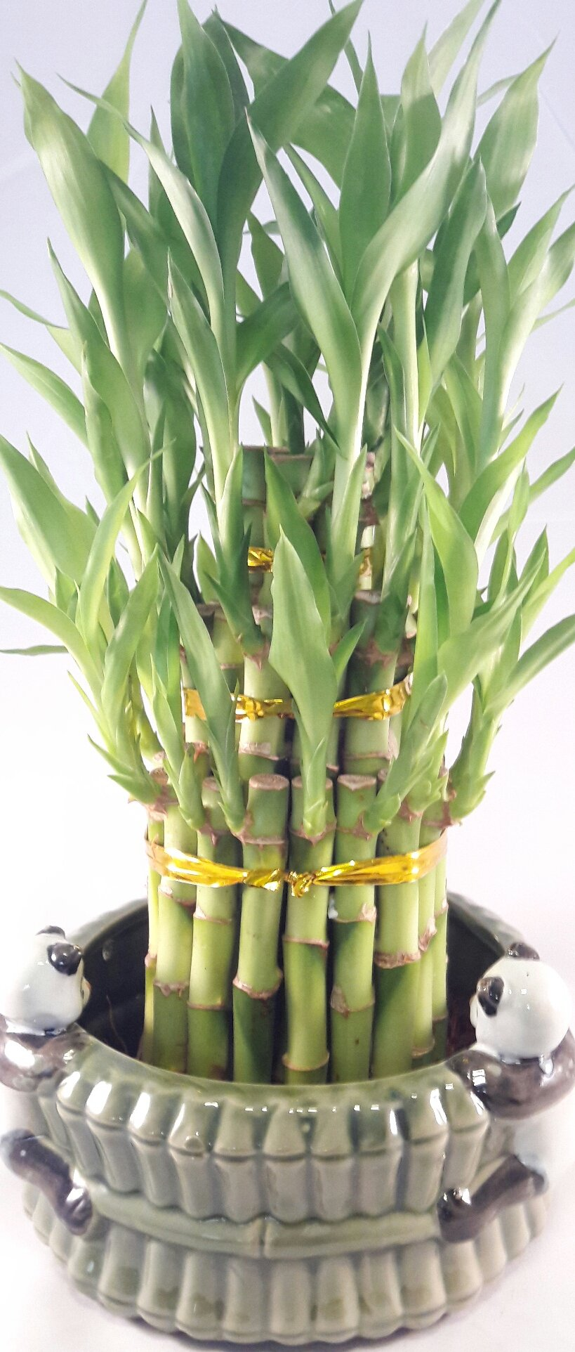 Lucky Bamboo - tower in Decorative panda Pot unique from Jmbamboo by JM BAMBOO