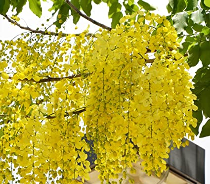 Indian Climate Suitable Cassia Fistula Bright Yellow Flower Tree
