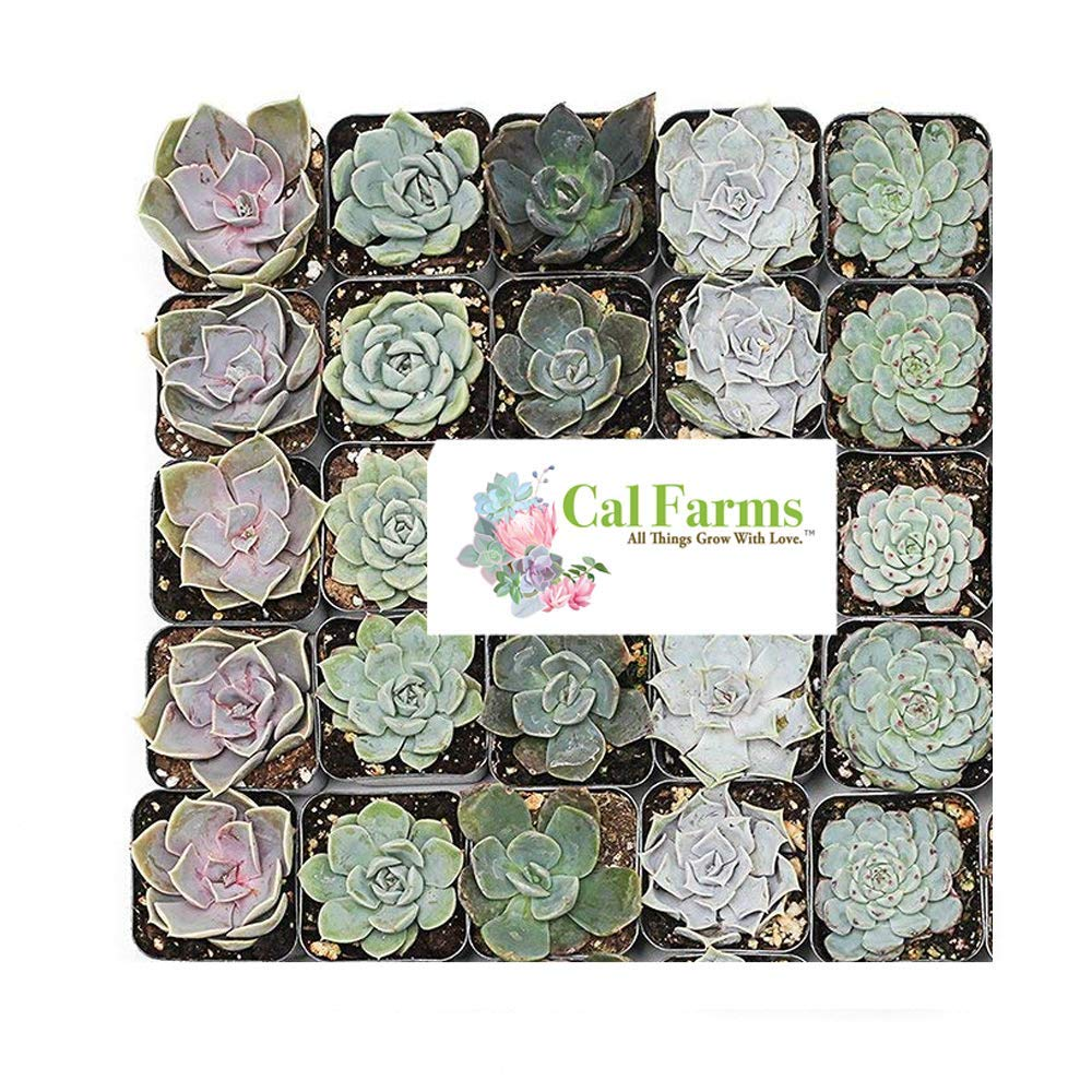 CAL Farms 2'' Rosettes Succulents - for Weddings, Private Parties, Gifts, Party Favors, Gardening and Special Events (Pack of 25) by CAL Farms (Image #3)