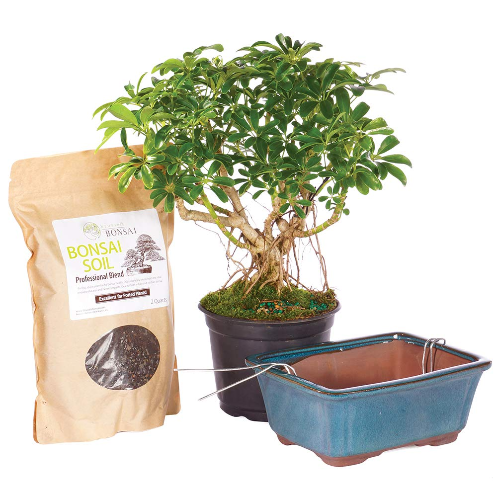 Brussel's Bonsai Live Hawaiian Umbrella Indoor Tree PIY Bundle - 5 Years Old; 8'' to 12'' Tall with Soil and Decorative Container