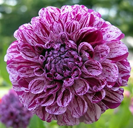 Caproz Pizzazz Decorative Dahlia Bulb Clumps Perennial Plants Indoor Outdoor